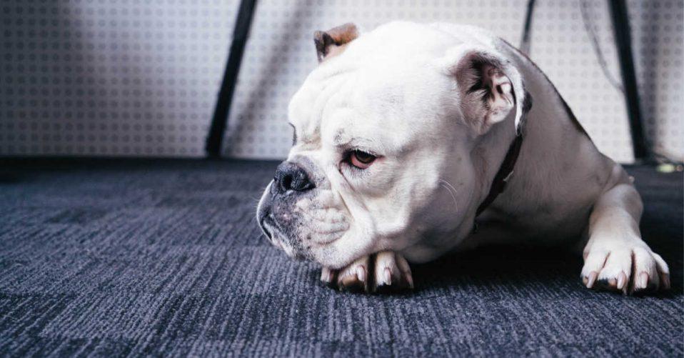 Grumpy bull dog laying on the carpet