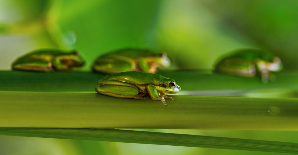 lots of green tree frogs lying on green branches